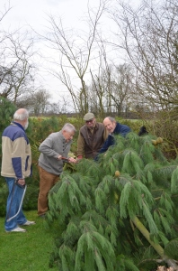 An enthusiastic team of volunteers get to work preparing the tree